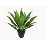 Bird's Nest Fern 50cm w/pot A190KF