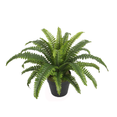 Boston fern w/pot 45cm