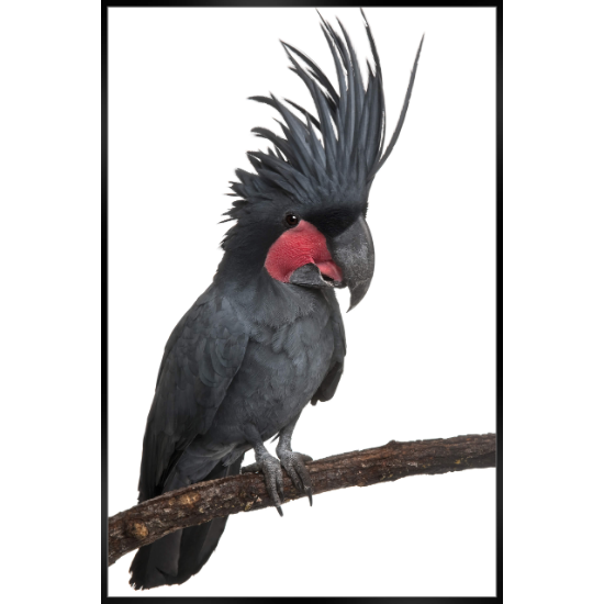 Black cockatoo 62x92 on branch